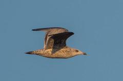 Oare flying gull