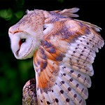 04/12/2018 - PDI. League 3.. Barn Owl by John Russell