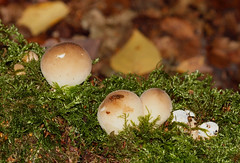 2018_10_0324 (petermit2) Tags: commonearthball earthball mushroom fungus fungi fly pottericcarr potteric doncaster southyorkshire yorkshire yorkshirewildlifetrust wildlifetrust ywt