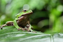 2J4A8071 (ajstone2548) Tags: 12月 樹蛙科 兩棲類 翡翠樹蛙