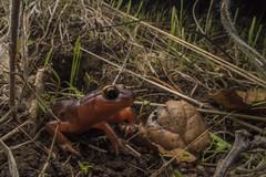 Waiting Ensatina (antonsrkn) Tags: plethedontidae salamander colorful insitu herpetology amphibian herp herping nature natural wildlife animal ca california yelloweyedensatina ensatinaeschscholtziixanthoptica