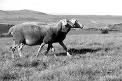 """Brebis """"Lacaune"""" sur le Larzac (Michel Seguret Thanks for 13.6 M views !!!) Tags: france aveyron lillau larzac brebis mouton lacaune sheep sheeps plateau pastoralisme michelseguret nikon d800 animal animals animaux"""