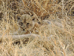 Lion cub (BaliDave2) Tags: namibia wildlife lioness lion cubs africa 2018 lioncubs