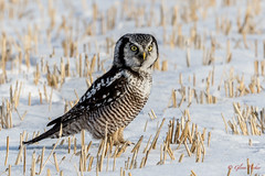 Northern Hawk  Owl (Glenn R Parker) Tags: northernhawkowl owls