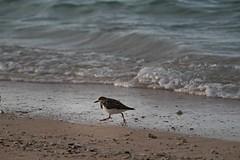 The Bird looking for Food (ALOHA de HAWAII) Tags: alamoanabeachpark