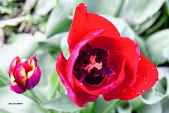IMG_5687 (taszee63) Tags: tasmania tablecape flowers tulips red flora