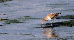 Black-tailed Godwit (wightbern) Tags: blacktailedgodwit wildlife nature nikon newtownnationalnaturereserve nationaltrust nikonnaturephotography isleofwight 70300mmf4556gvr d500