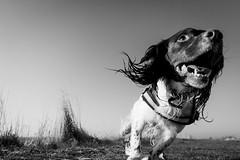 Doughal (Andy Willett) Tags: outdoors nature walk d7200 nikon blackandwhite dog springerspaniel