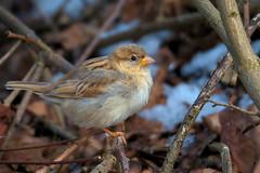 Sperling / Sparrow (Passer domesticus) (uwe125) Tags: