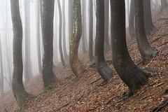 Adaptation (George Pancescu) Tags: nikon d810 ciucas massif bratocea forest trees fog mist misty nature natural outdoor autumn