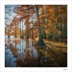 Contre-jour dans le bayou (Jack O'Donate) Tags: sonya7rii voigtländer21mmf18ultron panorama paysagerural cyprèschauve isère automne taxodiumdistichum
