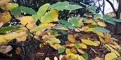 IMG_20181112_125757 (LezFoto) Tags: autumncolours leaves aberdeen scotland unitedkingdom huawei huaweimate10pro mate10pro mobile cellphone cell blala09 huaweiwithleica leicalenses mobilephotography duallens