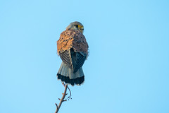 Kestrel........... (klythawk) Tags: kestrel falcotinnunculus birdofprey wildlife nature winter branch sunlight blue brown beige yellow grey black white olympus omd 100400mm panasonic leica attenboroughnaturereserve wildlifetrust nottingham klythawk