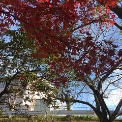晩秋の道 (eyawlk60) Tags: 晩秋 冬 道 路 寝屋川 モミジ 紅葉 momiji maple kayede lateautumn winter