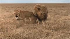 Lion Video (1) (Everyday Glory!!!) Tags: favorite serengeti national park africa tanzania november 2018 safari animal wild wildlife lion bigcat felidae simba lioness lionpride pride