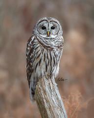 Lucky Find (Rainfire Photography) Tags: owl barredowl wildlife bird lyndeshores nikon