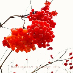 wintertime berries! (eikeblogg) Tags: mobileartistry mobilephotography fruits wintertime berries red focus