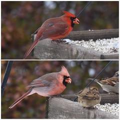 Male Northern Cardinals (JRWhitaker1) Tags: montgomerycounty maryland backyard wildlife nature bird cardinal
