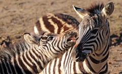 zebra Burgerszoo 094A1582 (j.a.kok) Tags: zoogdier zebra burgerszoo burgerzoo grantzebra mammal dier animal africa afrika