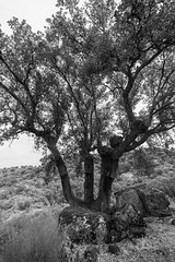Valcorchero  260817-2617 (Eduardo Estéllez) Tags: valcorchero plasencia background beautiful beauty bright corkoak countryside drought environment extremadura tree granite landscape meadow monochrome natural nature nobody oak park plant public rocks rocky rugged season spain spanish stones summer trees view white estellez eduardoestellez