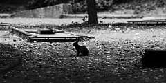 Petit Golfeur (Amanda Hinault - 風流韻事) Tags: ccbysa photobyamandahinault creativecommons pentax pentaxk1ii pentaxart animaux animals faune noiretblanc blackandwhite nb noirblanc blackwhite bw monochrome