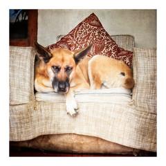 A Dog's Life (Daniela 59) Tags: tired old grumpy chair armchair animal sliderssunday hss workingwithtextures riebeekkasteel southafrica danielaruppel