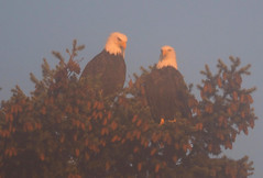 Eagle Couple in Sunlit Mist ... (Irene, W. Van. BC) Tags: eaglecoupleinsunlitmist eagle eagles earlyeveningskies earlyeveningsunset sunset sunsets sunsetskies sun sunsetoutlines mist mistyscenes misty mistscenes beautifulnature birds birdsofafeather birdwatch birdsofbc birdsintrees allbirds animalsbirds birdsofprey trees treesilhouettes treebranches treesinsunsetskies treesinmist outdoorscenes 1001nights 1001nightsmagiccity 1001nightsmagicpeacock
