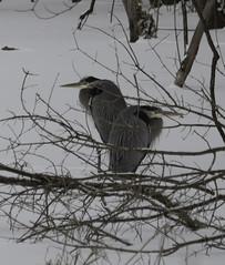 Winter2018-19_SAF0517-2 (sara97) Tags: copyright©2019saraannefinke heron missouri photobysaraannefinke saintlouis wadingbird wildlife winter winter201819