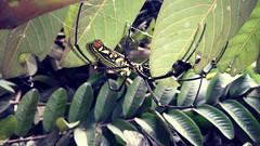 Laba-Laba Mlandingan - Nephila Pilipes (setiawanap) Tags: indonesia setiawanap setiawanapvlog binatang animals wildlife labalaba spider kemlandingan nephilapilipes nephila pilipes