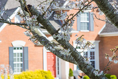 Cherry Blossom in 2019 (幻影留梦) Tags: cherry blossom flower tree backyard lawn house yard m42 rexatar 135mm f28 super coated manual neighbourhood subdivision vintage