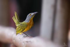 Grey-headed Bushshrike (Ben Locke.) Tags: greyheadedbushshrike bird birds wild wildlife nature africa southafrica kruger