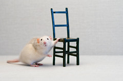 Hello (Shumilinus) Tags: 2018 nikond300s 85mmf18 nikkorlenses portrait studiophoto animals cuteanimals rats cutie