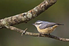 female nuthatch 4 (G_Anderson) Tags: missouri yard birds birding backyard winter urban red breasted nuthatch migration irruption