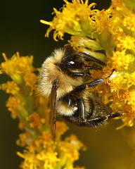 GN8A8426.1 (Matthew Schmalz) Tags: insect wildlife nature flash goldenrod macro bumblebee