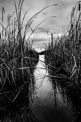 Path through the bog (rick miller foto) Tags: 80d canon canada throughthereeds calm monotone monochrome mono blackandwhitephotography bw blackandwhite walkingtrail conservationarea merbleue bog merbleuebog ottawa