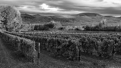 Orleans Island's Vineyards, Quebec, Canada (Agirard) Tags: vineyards wine landscape bw nb blackwhite noirblanc orleans island loxia loxia50 250 250mm zeiss sony a7ii quebec canada monochrome