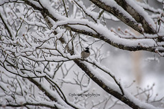 Snow Bird (Photographybyjw) Tags: snow bird little black cap chickadee sitting snowy branch waiting get some seed north carolina ©photographybyjw tree branches rural country cold