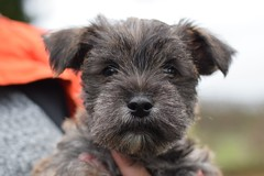 ONe (8) (AlmostHome_Dog) Tags: almost home dog rescue north wales puppy puppies pup pups westie yorkie west highland terrier yorkshire