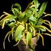 [Luzon, Philippines] Dendrochilum curranii Ames, Orchidaceae 3: 15 (1908)