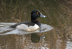 Ring-necked Duck (dennis_plank_nature_photography) Tags: avianphotography ridgefieldnwr ringneckedduck birdphotography naturephotography ridgefield wa avian birds home nature