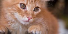 My little friend from Britanny (pe_ha45) Tags: cat katze chat