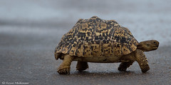 At last some rain! (leendert3) Tags: leonmolenaar southafrica krugernationalpark wildlife nature reptiles leopardtortoise ngc npc naturethroughthelens coth5