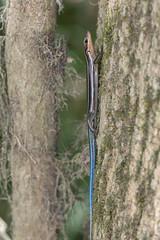 Common Five-lined Skink (Plestiodon fasciatus) (Ron Winkler nature) Tags: fivelined skink plestiodonfasciatus plestiodon fasciatus lizard herpetology squamata reptile reptiles nature wildlife congaree nationalpark congareenationalpark us usa canon 100400ii macro animal 7dii