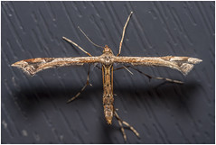 Plume Moth, Tyldesley (Pitheadgear) Tags: moth plume nature moths plumemoths lepidoptera mcro macrophotography microphotography closeups