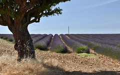 fullsizeoutput_2a26 (bryan_fish) Tags: provence lavender valensole sunflower