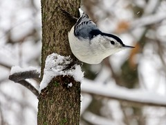 Welcome to winter (Meryl Raddatz) Tags: bird nature snow naturephotography nuthatch ngc canada
