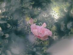 Magical rose (Tomo M) Tags: illuminar 宝石レンズ flower rose nature bokeh ring 横浜イングリッシュガーデン light autumn pink
