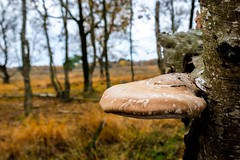 Mushroom clings to tree (j.a.vink) Tags: heath tree mushroom 1855 fujifilm1855mm fujifilm fujifilmxt2