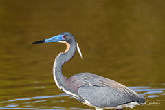 Red Eye (craig goettsch) Tags: avian tricoloredheron heron nature wildlife nikon d500