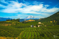 Mt. Adams & the Hood River Valley (RobertCross1 (off and on)) Tags: a7rii alpha cascaderange cascades columbiarivergorge emount fe85mmf18 hoodriver hoodrivervalley ilce7rm2 mountadams nationalscenicarea or oregon pacificnorthwest pinegrove sony bluesky clouds farm farming forest fruit fullframe glacier landscape mirrorless orchards pear snow trees valley volcano washington wa